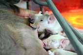 picture of farrow  - Lactation of piglets in a pig pen.
