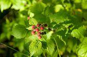 Wild Rasperries