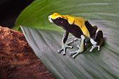 sapo Dendrobatidae na folha na floresta amazônica sul-americana. Amarelo volta dendrobates tinctorius. B