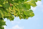 Lime Flowers (tilia)