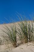 Beach Grass In Sand Dunes