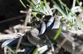Grass Snake - mating