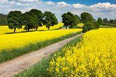 campo de colza - brassica napus