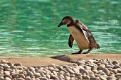 Humboldt Penguin Waddling Spheniscus Humboldti