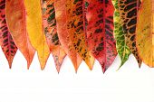 pic of croton  - colorful Croton leaf isolated on white background - JPG
