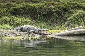 Crocodilo no Parque Nacional de Chitwan, Nepal