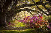 image of southern  - Charleston SC Plantation Live Oak Trees Spanish Moss Azalea Flowers Blooming Spring Blooms - JPG