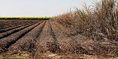 The Remains Of A Crop Of Burnt Sugar Cane Ready For The Mechanical Harvester To Return And Cut Ready poster