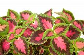 Coleus Lour  Isolated On A White Background.