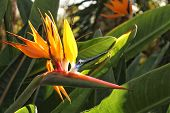 Bird Of Paradise Flower In A Garden In Elche, Spain poster