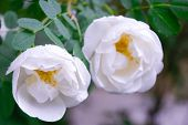 Closeup Of White Dogrose Or Briar Flower With Soft Focus. Macro View Of Flowering Rose Hips Of Briar poster