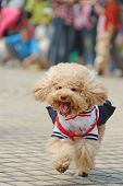 picture of frizzle  - Little poodle dog running on the ground - JPG