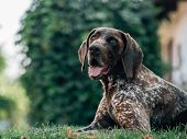 Exhausted German pointer dog lying in garden poster