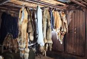 Fur Killed Foxes, Raccoons, Wolves, Beavers, Mink, Nutria Hangs After Processing poster