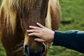 Icelandic Horses. Girl Stroking A Horse. The Icelandic Horse Is A Breed Of Horse Developed In Icelan poster