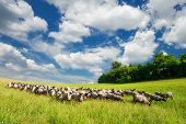 Livestock Grazing On A Green Summer Meadow In Hungary. Sheep, Goat And Lamb On The Pastures With Bea poster