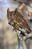 foto of screech-owl  - Portrait of an Eastern Screech Owl Megascops asio - JPG