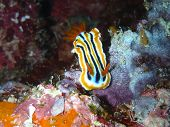 Streaked chromodoris (Chromodoris strigata)