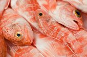 foto of redfish  - Group of redfish displayed in a fish market in italy - JPG