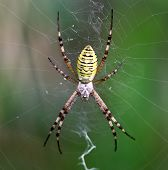 European White - Yellow Spider With Green Background ( Argiope Bruennichi)
