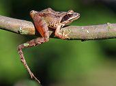 Brow Frog