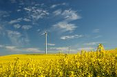 Wind turbine on field of oil rapeseed