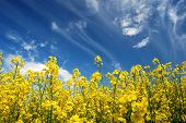 Plenty of yellow rapeseed flowers against the sky