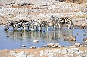 Zebras drinking at a watering hole
