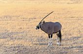 Gemsbok (oryx) In Namib-naukluft National Park, Namibia