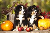 stock photo of herding dog  - basset hound and pumpkin yellow - JPG