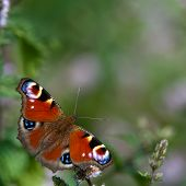 Peacock Butterfly (Inachis Io), Sweden