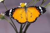 The Plain Tiger Butterfly