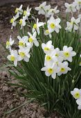 white narcissus flowers in the garden