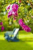 Blue wooden lawn chairs in a rose garden.