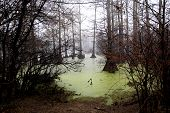 stock photo of green algae  - Picture of swamp with green algae on water - JPG