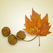 picture of a dried leaf and some Platanus seed balls on a beige background, with a retro effect