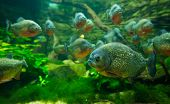 stock photo of piranha  - Many Piranha in aquarium in Tropicarium .