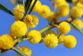 picture of mimosa  - fluffy balls of blooming mimosa as spring background - JPG