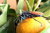foto of hawk  - A Tarantula Hawk Spider Wasp standing on an orange in a tree in an orchard in Cotacachi - JPG