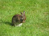 stock photo of nibbling  - a rabbit nibbling away in the lawn - JPG