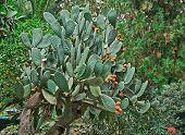 Sicilia Prickly Pear Cactus