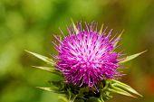 Violet Thistle On Poppy Field