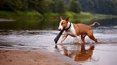 The English Bull Terrier Plays With A Stick In The River