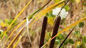 stock photo of cattail  - Cattails by field with yellow and green weeds - JPG