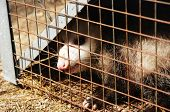 Caged Opossum