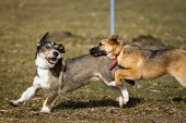 stock photo of dachshund dog  - Two dogs wild game on a dog park which is a a German Shepherd puppy the other a terrier  - JPG