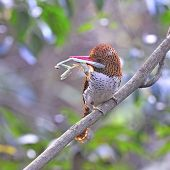 Female Banded Kingfisher