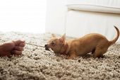 picture of rope pulling  - Cute chihuahua dog playing on living room - JPG