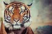 stock photo of tiger eye  - Close - JPG