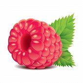 Raspberry Isolated On White Vector